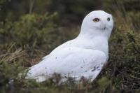 A male snowy owl identified by its almost pure white plumage on the ground near Churchill, Manitoba, Canada.