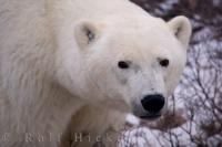 A portrait of a tired looking polar bear sow nearing the end of her summer fast in Hudson Bay, Manitoba, Canada.