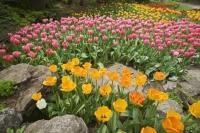 The beautiful tulip blooms at the Royal Botanical Gardens in Hamilton, Ontario bring the Rock Garden to life during spring.