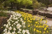 These daffodils herald the arrival of spring in their rocky flower bed at the Royal Botanical Gardens in Hamilton Ontario, Canada.