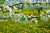 A good sign of things to come, the abundant cherry blossom on these branches in an orchard in Ontario, Canada near Hamilton hint at a productive growing season ahead.