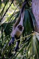 A threatened species in the wild due to the lack of protected habitat, the Spider Monkey is breeding well at the Auckland Zoo in New Zealand.