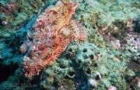 Stock photo of a spotted scorpionfish photographed in the amazing underwater world of the galapagos islands.