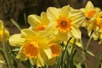 Part of the collection of spring flowers, daffodils at the Cullen Gardens and Miniature Village in Whitby Ontario Canada
