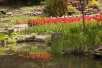 Nestled in beside a pond near the Rock Garden in the Hamilton Royal Botanical Gardens in early spring are a mass of colourful tulips.
