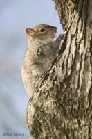 Photo of a gray squirrel running up a tree