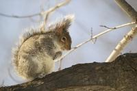 Cute looking squirrel on a branch feeding on a cold winter day.
