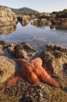 Most Starfish are found on rocky outcrops on the West Coast of Vancouver Island, Canada.