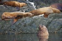 A colony of Steller sea lions can be found off the coast of Northern Vancouver Island in British Columbia, Canada.