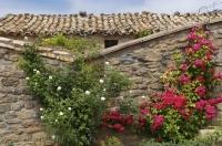 A stone wall near the village of Riglos in Huesca, Aragon in Spain is made more pleasant with the blossoming roses which cling to the wall as they grow.