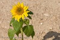 In the direct sunlight along the roadside in the Province of Cadiz in Andalusia, Spain, a single wild sunflower plant shows of its bright yellow flower head.