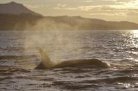 Whether it is sunset like in this picture, or sunrise, a Killer Whale can be found in many different areas off Vancouver Island in British Columbia, Canada.