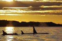 During a beautiful sunset off Northern Vancouver Island in British Columbia, Canada a Killer Whale family surfaces as the light glistens off them.