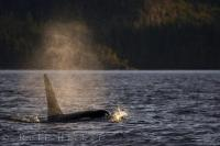 Sunset Lighting Killer Whale Swim British Columbia