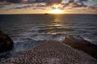 The sunset colors highlight the sky over Muriwai Beach on the North Island of New Zealand where the rocks are scattered with the Australasian Gannet colony.