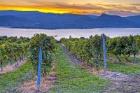 A beautiful view of scenic Okanagan Lake and the surroun during sunset as seen from the end of the grape vines in a vineyard.