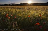 Sunset Wildflowers Huesca