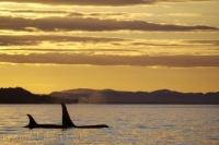 After surfacing, two Orca slowly continue on after enjoying the glow from the sunset off Northern Vancouver Island in British Columbia, Canada.