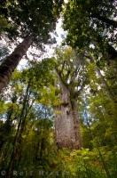 The Te Matua Ngahere, a giant Kauri tree in the Waipoua Forest on the North Island of New Zealand is an amazing sight when seen up close.