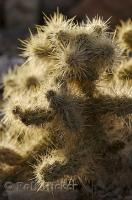 The fuzzy looking teddy bear cholla cactus found in Death Valley National Park in California, USA.