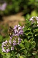 A bee collects the nectar from the flowers of a Thyme plant in the gardens of La Source Parfumee in Gourdon village in the Provence, France.
