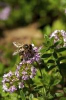 A honey bee makes use of the nectar it finds on a thymus vulgaris herb plant in the Provence of France.