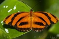 The Victoria Butterfly Gardens feature many species of Butterflies including the Tiger Butterfly.