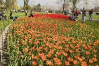 The Tulip Festival is an annual event held in the city of Ottawa in Ontario each spring and is a mecca for tourism in the area.