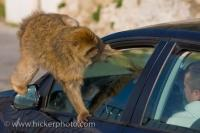 Tourist Attraction Barbary Macaque Monkey Gibraltar Europe