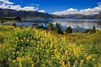 An aggressive plant introduced to New Zealand, tree lupins grow prolifically in Central Otago along the shores of Lake Hawea and Wanaka on the South Island of New Zealand.