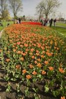 At the annual Ottawa Tulip Festival in Ontario, the colours at each of the tulip beds is a feast for the eyes.