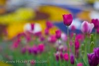 Vibrant and strong tulips adorn the front of the Niagara Parks Floral Clock along the Niagara River Parkway in Queenston, Ontario. Tulips are a very colorful flower and come in a variety of shades, often very bright and bold colours.