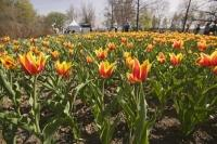 The tulips at the annual Ottawa Tulip Festival in Ontario never fail to bloom and for the many visitors.