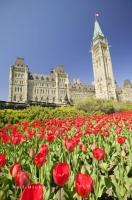 Photo of tulips on Parliament Hill at the Ottawa Tulip Festival in Ontario