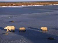 Tundra Animals, Polar Bears in Churchill