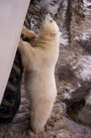 A cute and curious polar bear cub checks out a tundra buggy during an adventure into the Churchill Wildlife Management Area in Hudson Bay.