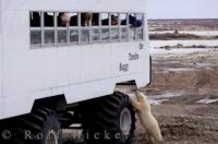Intrigued by the a massive tundra buggy full of tourists, a cute little polar bear cub thoroughly checks it all out.