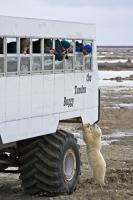 Tourists get a great view of a polar bear cub during a tour in a tundra buggy out to the shores of Hudson Bay in Manitoba, Canada.