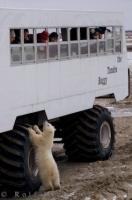 Tourists to the Churchill Wildlife Management Area in Manitoba, Canada peek out of the windows on the tundra buggy tours while a Polar Bear cub peers up.
