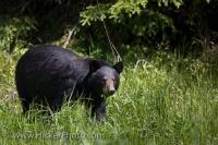 This black bear, proper name Ursus americanus, is the most common bear species in North America. It can be found all the way from Alaska to Mexico, and this bear in particular is grazing on lush green grass near the town of Red Lake in Ontario.
