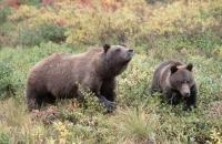 Grizzly Bear also called ursus arctos horribilis walking through colourful autumn tundra in Alaska