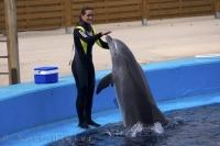 A trainer directs an attentive Bottlenose Dolphin during a show at the Oceanografic in the city of Valencia in Spain.