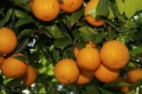 The region of Valencia is the premier producer of Oranges in Spain.