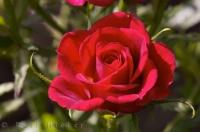 A red rose is a favorite flower to the residents of Oliva Nova in Valencia, Spain in Europe.