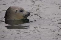 Valencia Spain Grey Seal