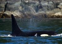 Orca whale seen on a whale watching tour off Vancouver Island in British Columbia, Canada