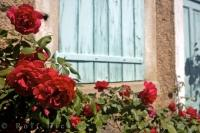 A beauiful red rose bush blooms beneath a villa window near the village of Pont du Loup in the Alpes Maritimes region of Provence, France.