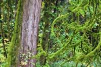 This vivid green moss covers tree branches and the trunk of a western red cedar tree in the rain forest of Goldstream Provinical Park. Due to the temperature and climate of this region, this foliage is common in this part of Vancouver Island.