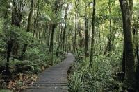 A boardwalk meanders through the rainforest amongst the tall Kauri trees in the Waipoua Forest on the North Island of New Zealand.