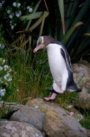 Walking Yellow Eyed Penguin
